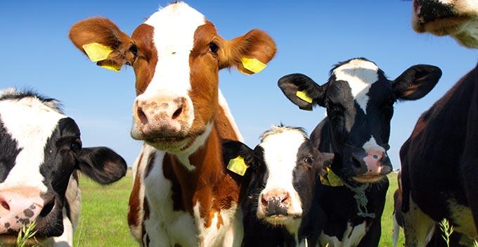 Southeast Dairy Association - Calves in field