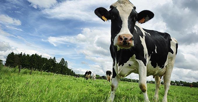 Southeast Dairy Association - Holstein calf